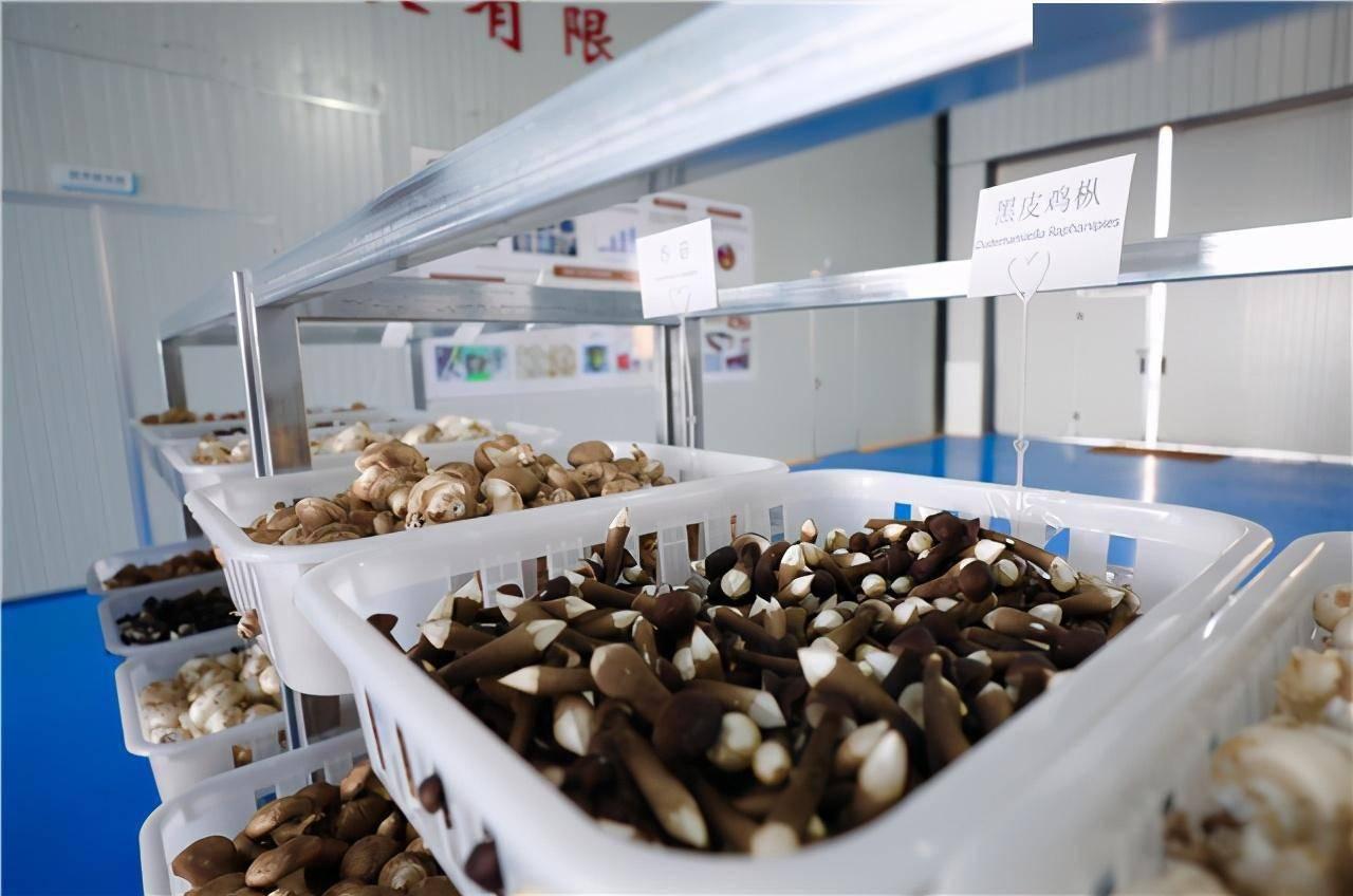 灌南食用菌经济总量_灌南苦菜图片