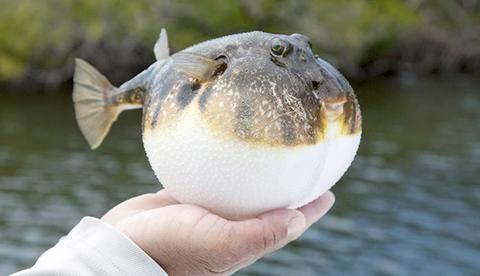 日本八旬老翁在家烹饪河豚 吃下后中毒身亡