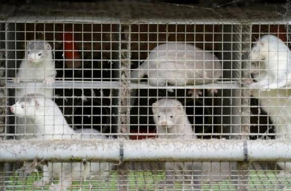 百事3注册丹麦宣布捕杀全国1700万水貂,因发现变异新冠病毒可传人(图3)