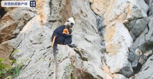 喜添新丁!广西白头叶猴种群数量逐年增加