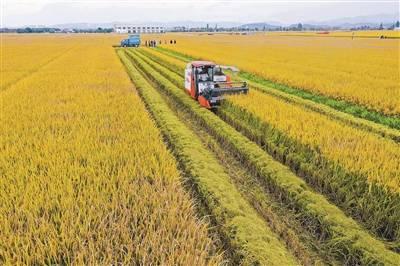 国家首批、华东唯一数字农业示范项目首次晚稻收割喜迎丰收