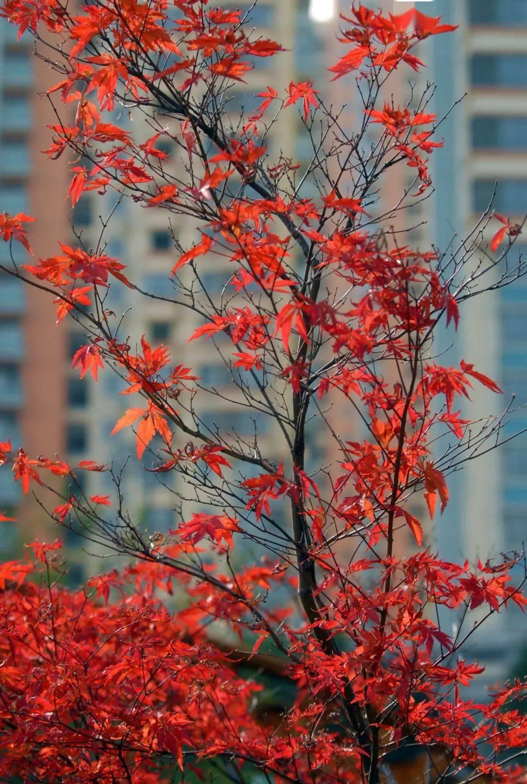 红叶如锦,色艳如花,灿烂如霞