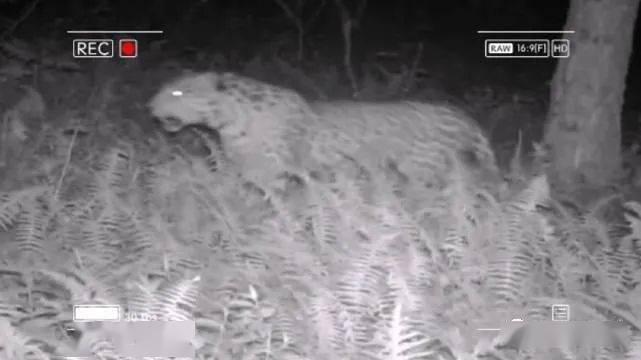 大熊猫国家公园长青分局今年第四次监测到金钱豹影像