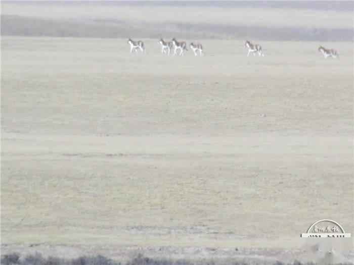 张掖境内发现特大西藏野驴群