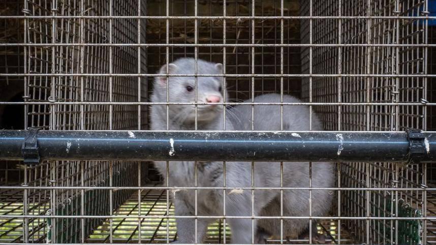:法国首次发现养殖水貂感染新冠病毒