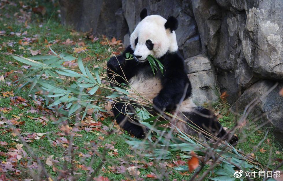 大熊猫留美再延长3年 大熊猫美香最新消息什么时候可以回国?