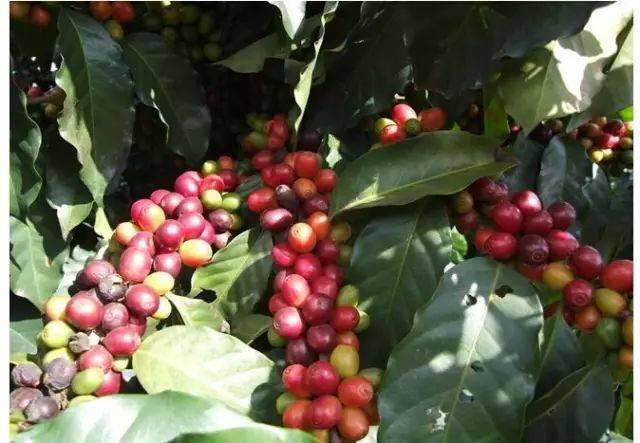 几个小众咖啡产地的咖啡,你了解吗 博主推荐 第7张