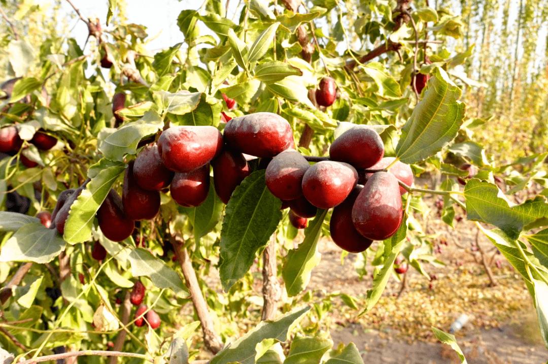 开封37名老乡新疆包地种枣,几十万斤大枣滞销,帮帮他们吧!