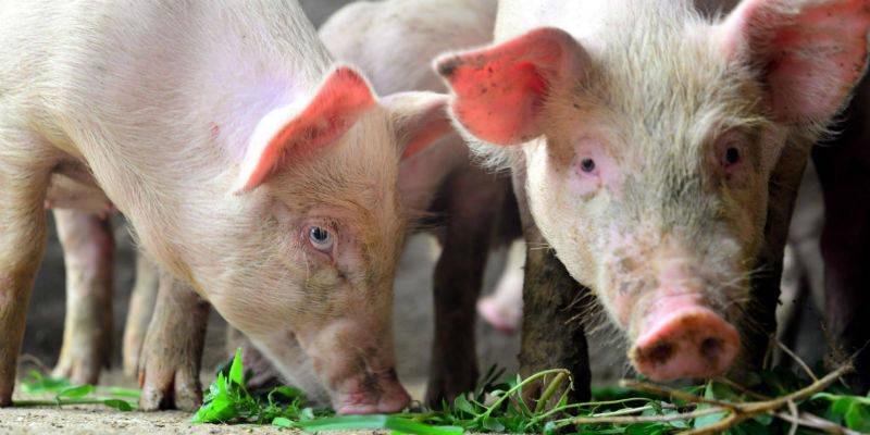 资金追捧生猪期货:上市首日跌超12% 另一期货品种成交明显萎缩