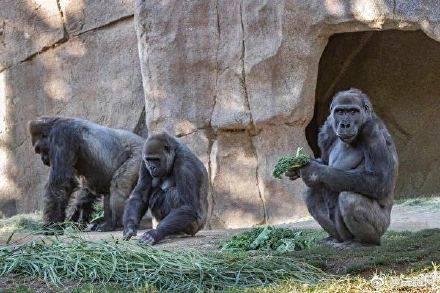 全球首批!多只大猩猩感染新冠如何加强对动物保护?