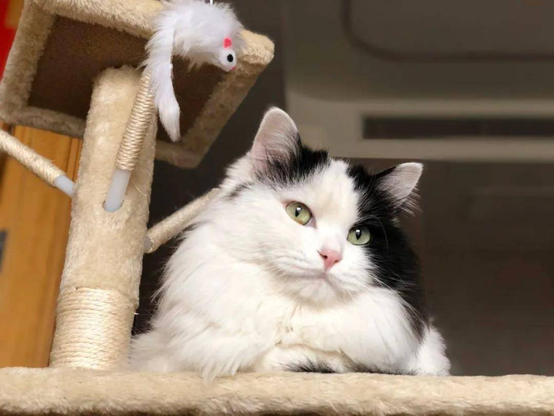 一组非常可爱又好看的中华田园猫,猫咪照片分享(20+)