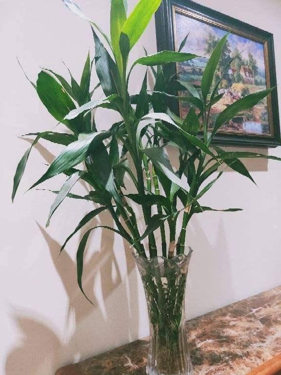节节高怎么养?富贵竹怎么水养叶子发黄?