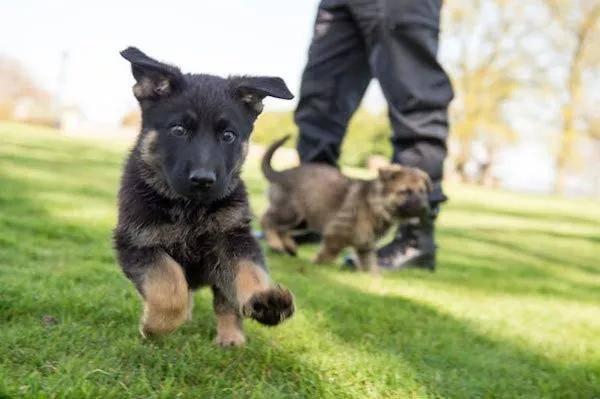 """""""不合格""""的小警犬被警方淘汰,开放领养时,被网友抢疯"""