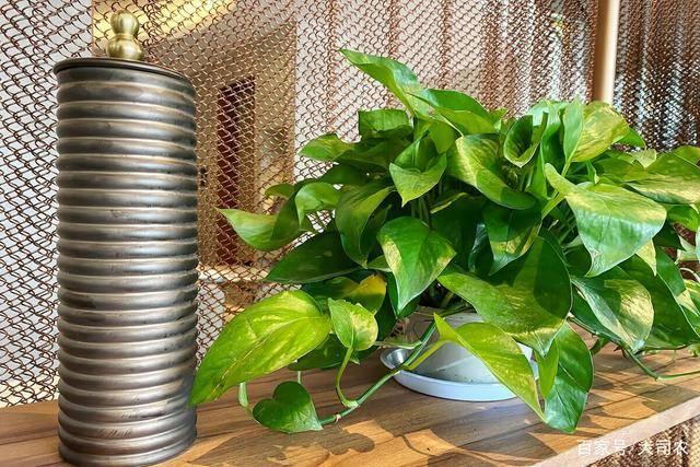 绿萝怎么养才能更旺盛?怎样让绿萝长的更旺盛 绿萝养殖5大技巧