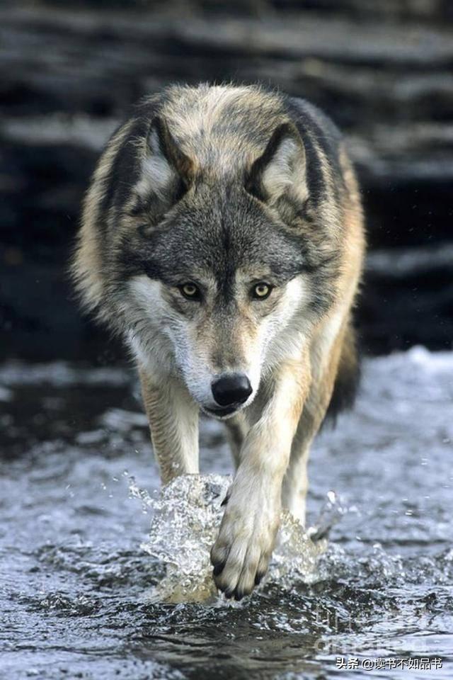 狼性团队的八大特征(最牛的狼性销售口号)