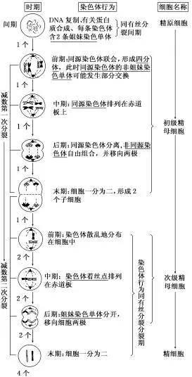 减数分裂知识点(高中生物有丝和减数经典例题)