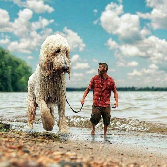 巨型泰迪犬多少钱一只(巨型泰迪犬为什么这么贵)插图