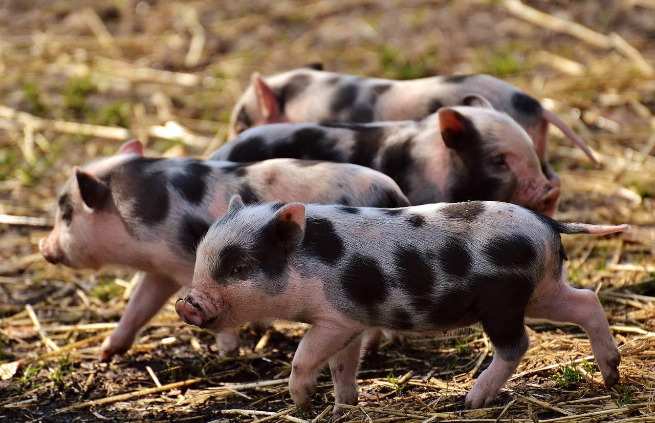 原来卖猪赚2000块?养猪一年赚5年。养猪还来得及吗?