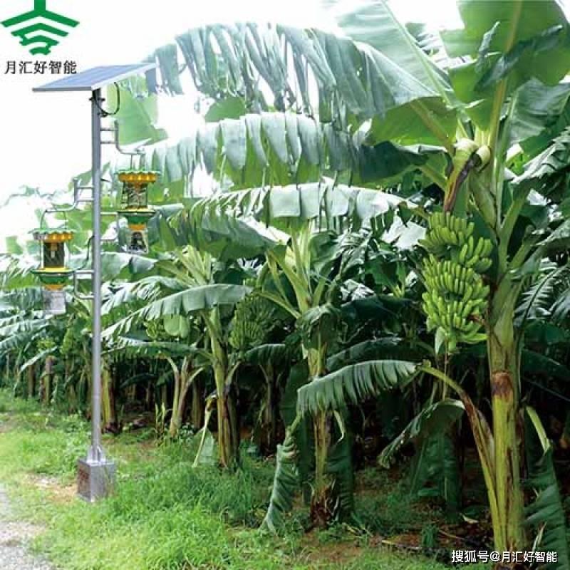 用频振杀虫灯对香蕉进行无害化病虫害防治!