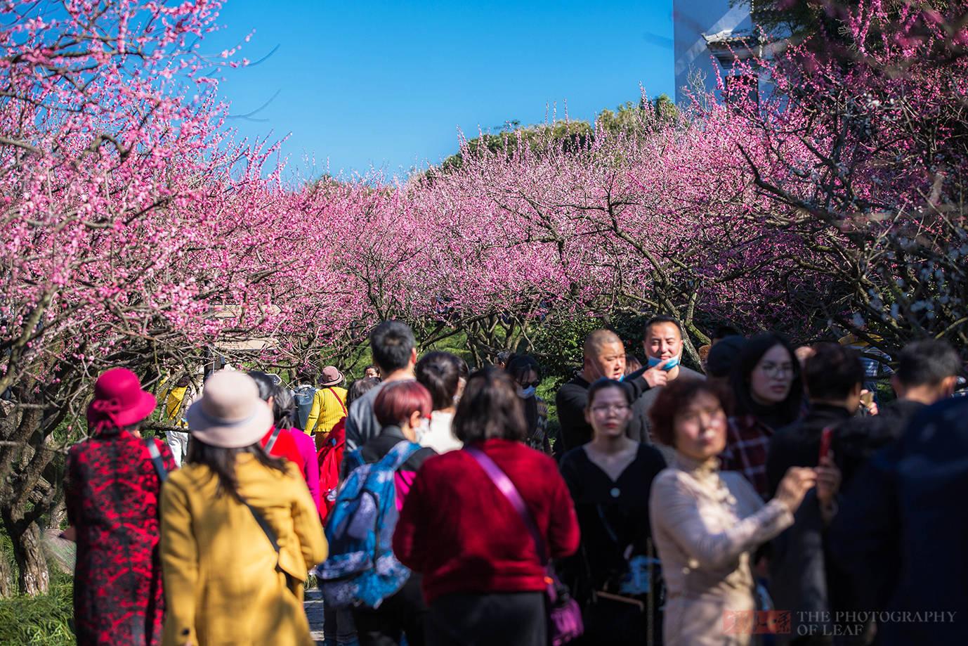 原創             杭州二棵梅花綻放牽動全城,游客小販擠爆景區,風頭蓋過老大西湖