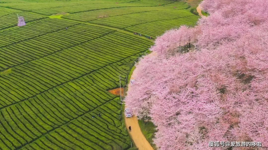 美过日本,不输武汉,全球最大的樱花基地竟在中国,此生必去
