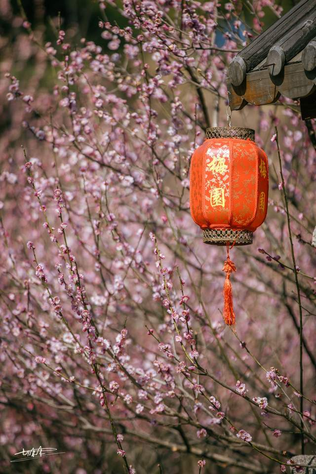 江南三大赏梅胜地之一,无锡梅园梅花进入最佳赏花期,美得太震撼