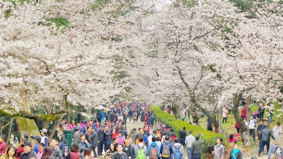 樱花盛开的季节,不用再远赴日本,国内三处赏樱胜地就在我们身旁