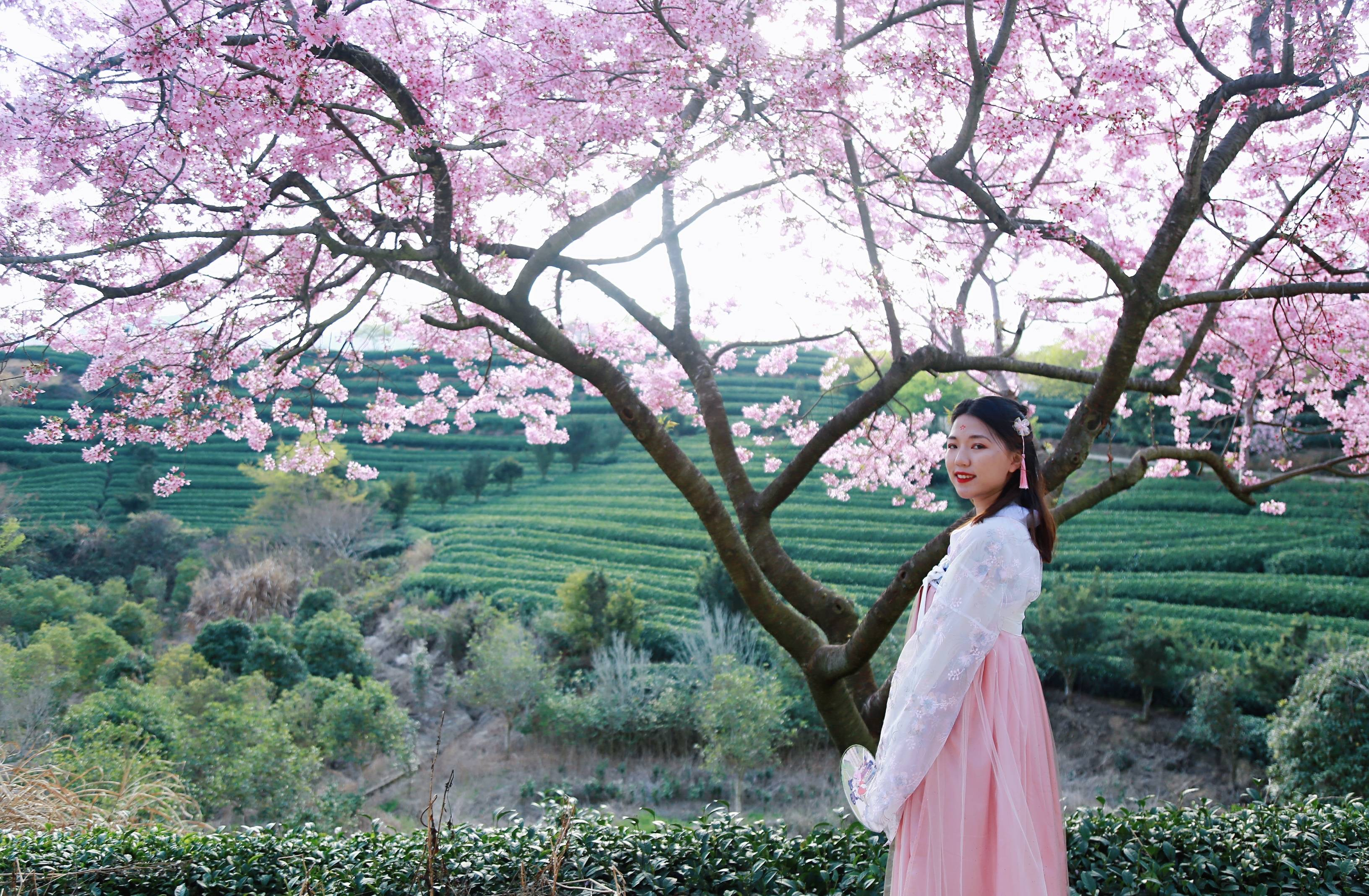 36674333479c4734af07187876ad1de3 - A guide to viewing cherry blossoms in Fujian, China's most beautiful cherry blossom sacred land, Alishan on the mainland_台品- Sohu
