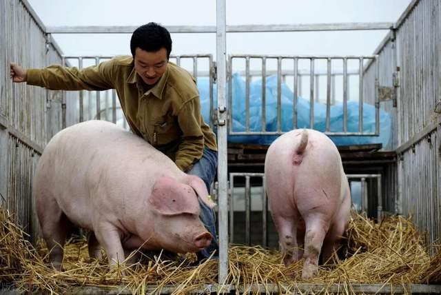猪价收官大涨!大量生猪被提前透支出栏,3月猪价想不涨都难?