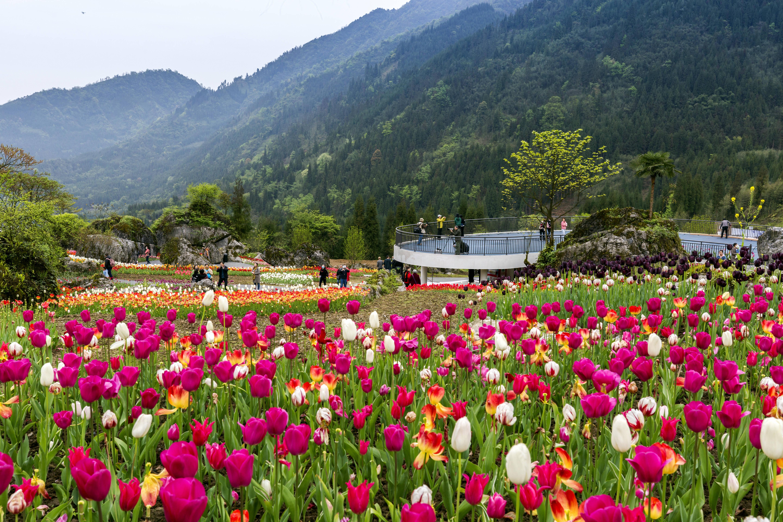 森林里的郁金香花海,三月春游赏花地,再忙也要去看一看!