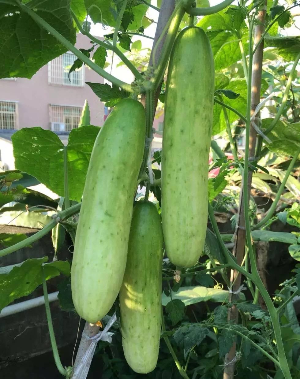 梦见自己家园子里的黄瓜煎了很多,丰收了? 梦到菜地好多黄瓜