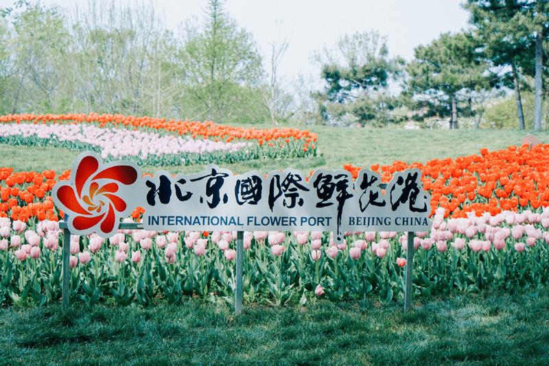 11万平米郁金香花海,北京国际鲜花港为你打开人间四月天
