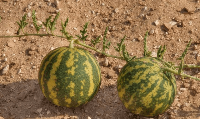 """沙漠的""""玫瑰""""可随便捡,为何看到""""西瓜""""要掉头走?可别吃亏了"""