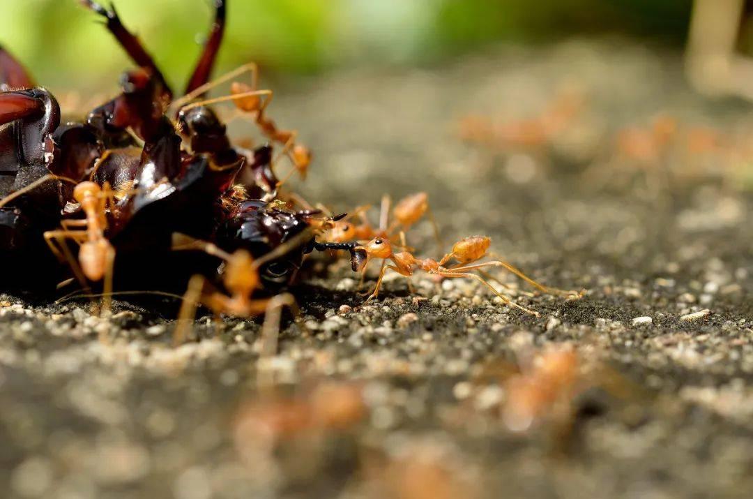 红火蚁入侵!专家:要想阻断,需投入比现在多100倍