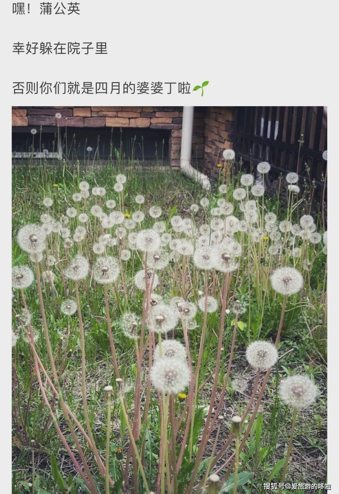 东北人:春天到了,挖点蒲公英吃吃吧