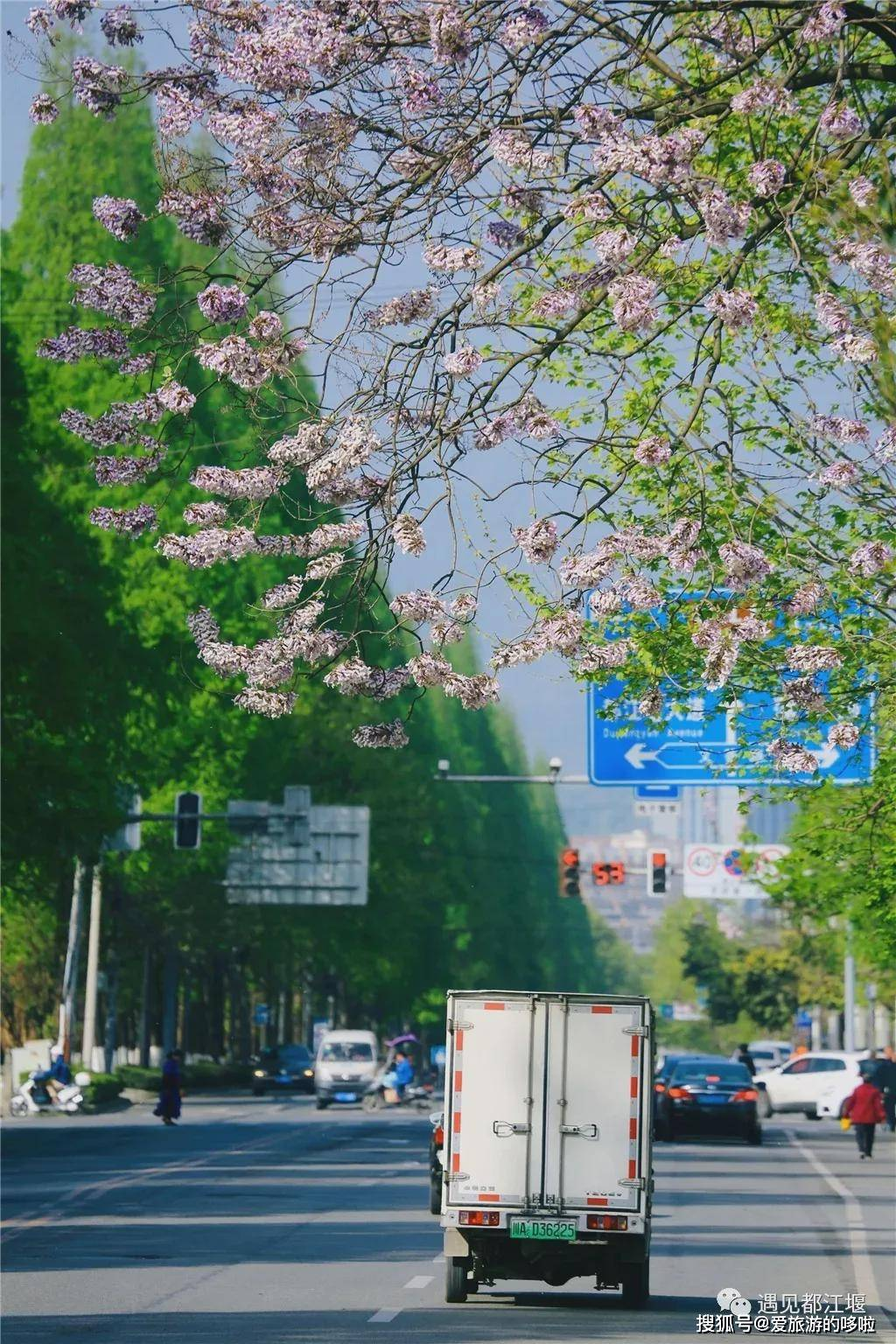 [四川五一赏花指南]蓝花楹、蔷薇花、杜鹃花,每一帧都美的惊叹