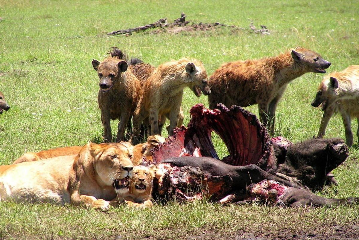 动物世界鬣狗全集 动物世界鬣狗传奇