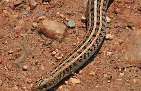 """还真有四条腿的""""蛇""""!画蛇添足居然是正确的?难道蛇进化了?"""