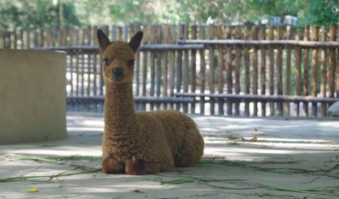 上海动物园食草动物园喜讯不断,南美貘宝宝的名字定啦!