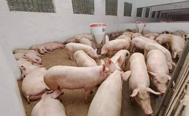今日生猪价格多少钱一斤2021?6月21日猪肉价格表一览