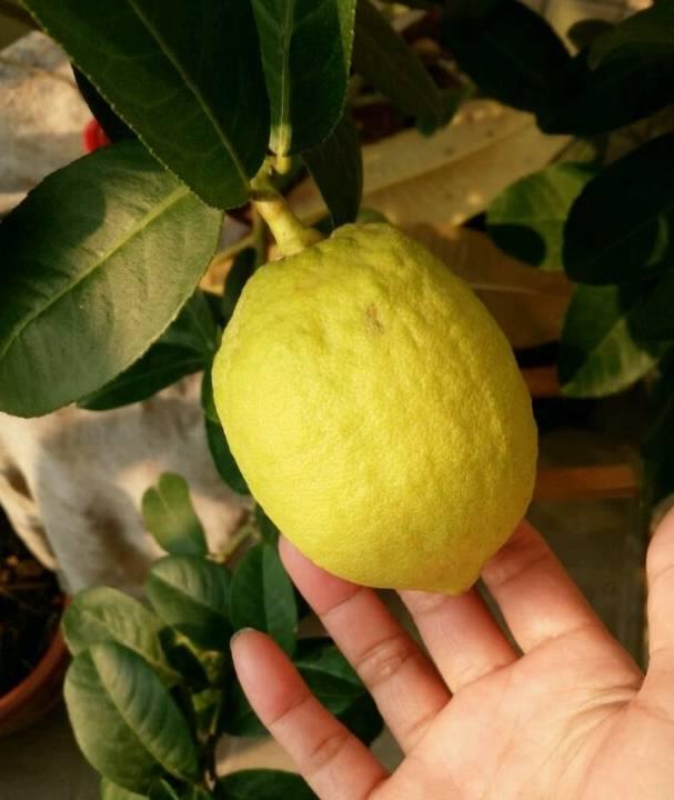 最好养的盆栽水果,集观赏、食用于一身,四季开花结果,值得拥有