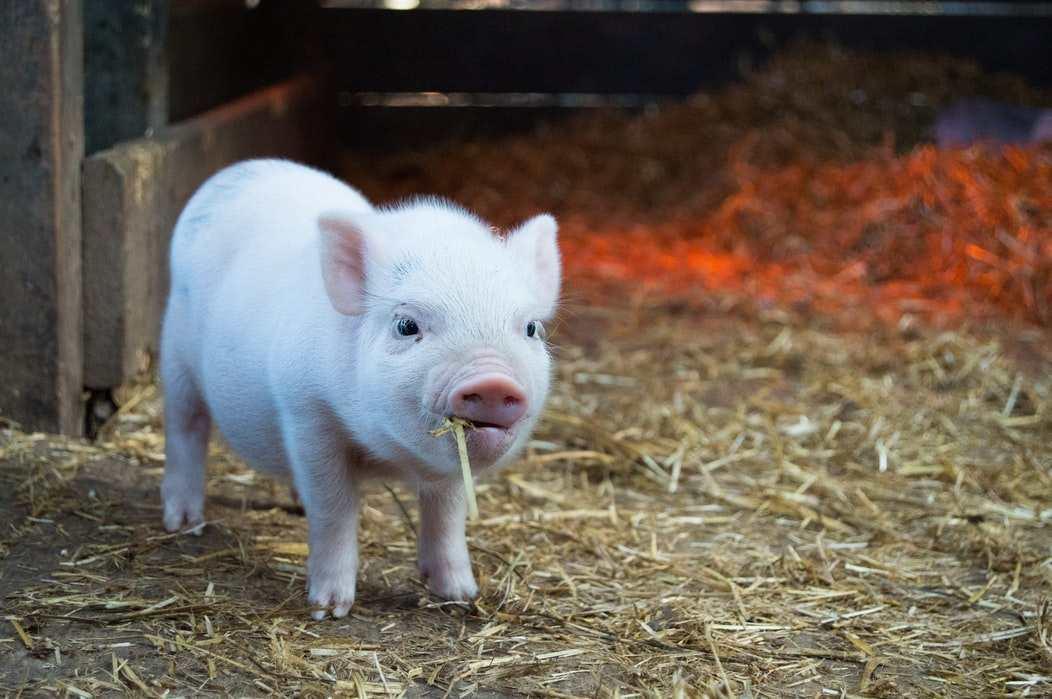 《专家:生猪价下半年不具大涨基础?猪肉价格到底会向何处去?》