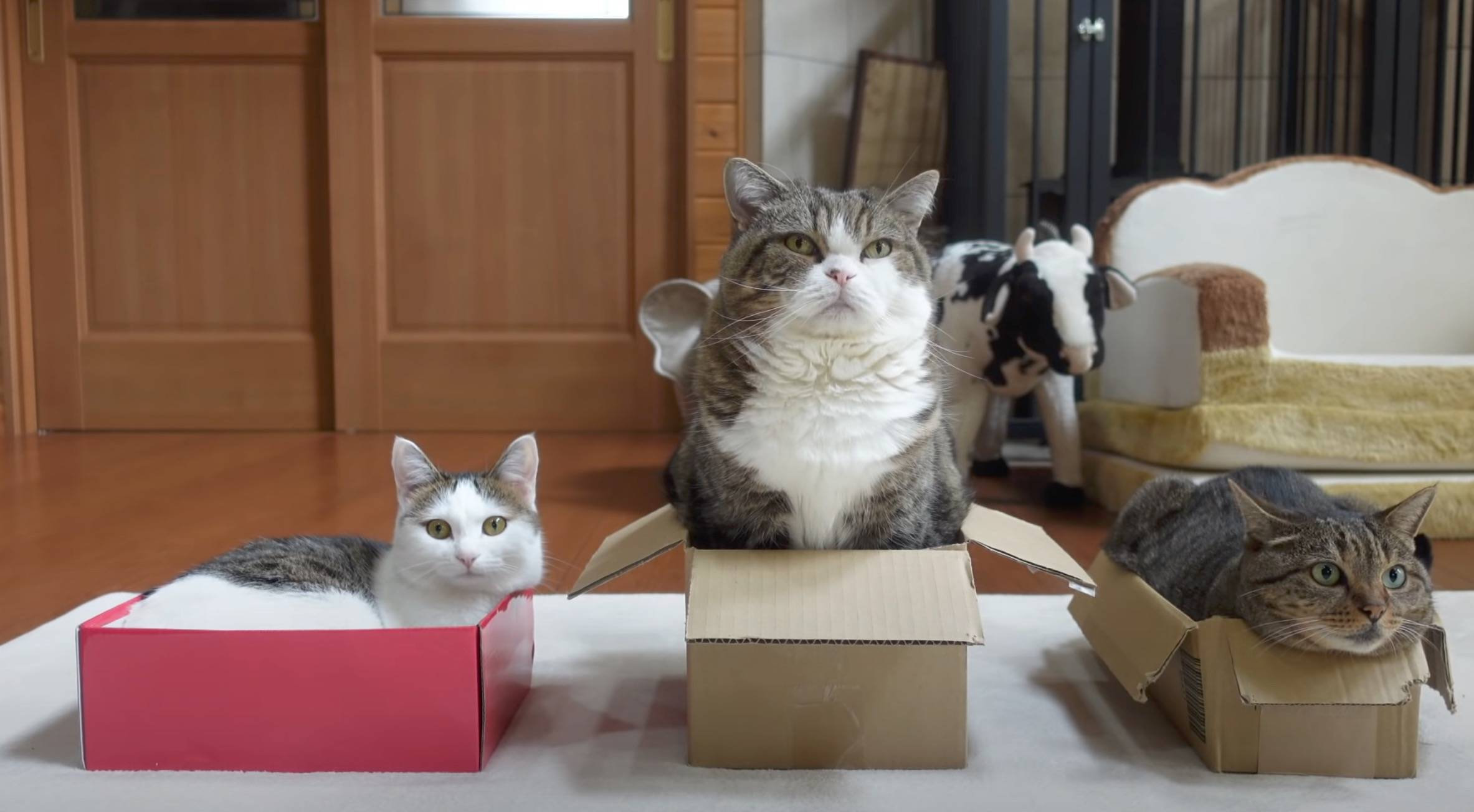 日本的猫咪视频播主年收破850万日币都上不了前10,我打算改行了_Maru