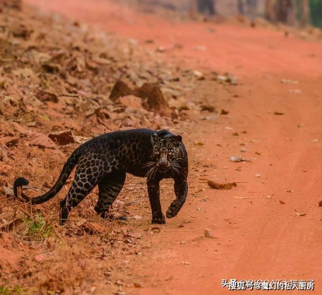 """超幸运!24岁摄影师半年内两次拍到黑豹,""""用完了一生的运气""""_"""