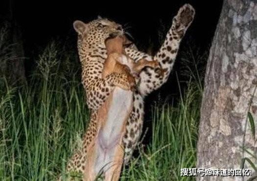 花豹深夜出门捕食,成功后立马往树上拖,一往下看原因不言而喻