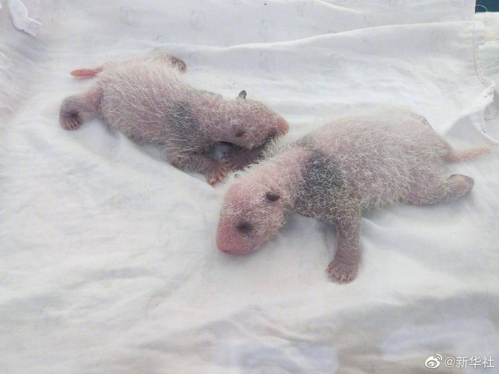 好小好萌!重庆动物园新生大熊猫龙凤胎首次亮相