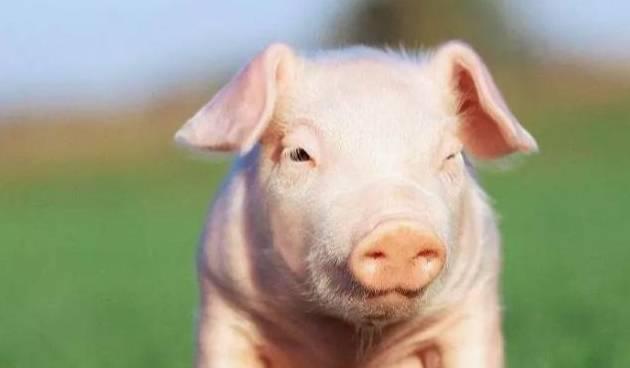 大金猪,吉星照耀,飞黄腾达指日可待,不开玩笑