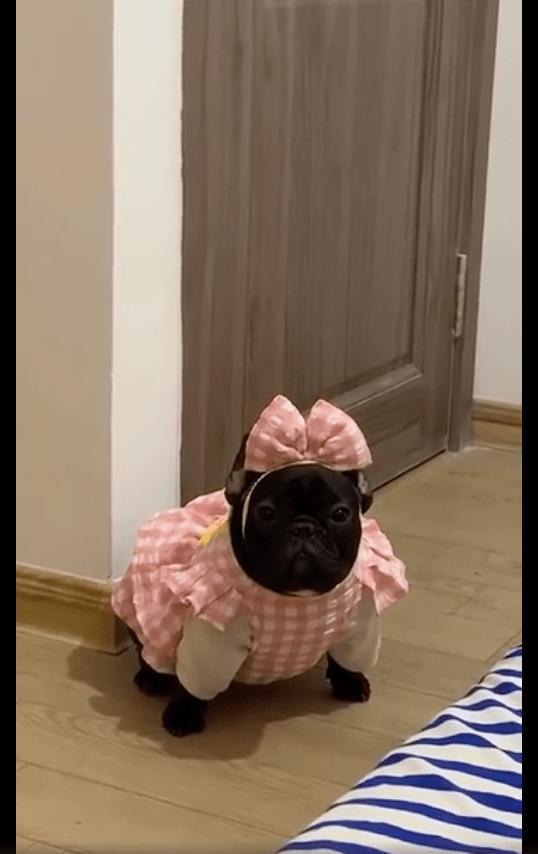 网友给狗狗买了件粉色小裙子,穿上之后笑出声来,也太显黑了吧!
