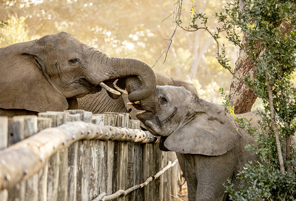 津巴布韦孤儿小象离放归野外保护区又近了一步插图
