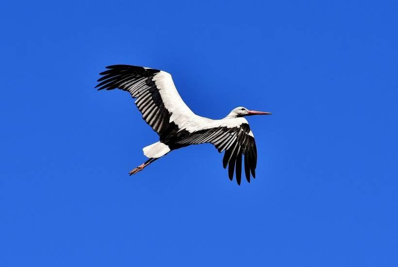 郭进拴|鷺鸟翱翔在蓝天